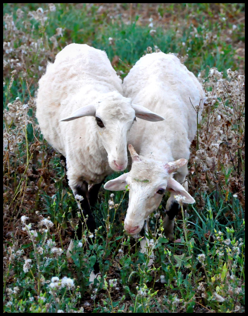 the world s best photos of keith and mcmanus flickr hive mind heart shaped goats keithnifty tags cute animals keith goats mcmanus keithmcmanus keithnifty