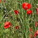 """27-Coquelicots • <a style=""""font-size:0.8em;"""" href=""""http://www.flickr.com/photos/63055067@N06/5735821465/"""" target=""""_blank"""">View on Flickr</a>"""