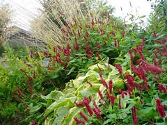 Soest Autumn 2007 Persicaria with Symphytum