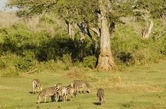 (Nicola Zuliani) Tags: africa fauna kenya natura safari animali animale tsavo tsavoeast tsavoest nizu nicolazuliani wwwnizuit