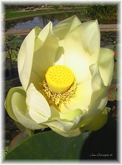 Lotus (Jean-christophe 94) Tags: plant flower yellow pond lotus jc94 jeanchristophe94