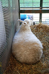 Sheep loaf