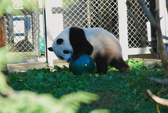 Tai Shan (Simba on 17th) Tags: bear panda nationalzoo giantpanda pandabear greenball pandacub taishan ailuropodamelanoleuca simbaon17th craigsalvas