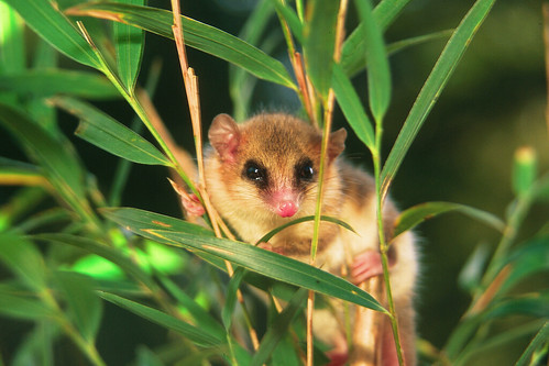 Marsupials are