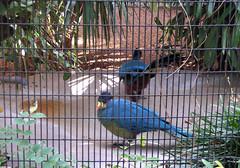 birds (mredria) Tags: animals zoo crow okapi