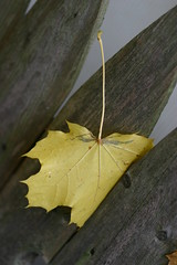 Stuck in the Middle (Lisa GH) Tags: fall leaves yellow newjersey mercercounty hightstown