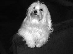Scott (Claudio Marcon) Tags: dog pet white cão dogs animal animals blackwhite pb maltese fotoclube maltez top20white top20everlasting claudiomarcon claudiolmarconribeiro
