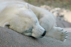 It's been a hard week, relax, enjoy! (ucumari) Tags: bear philadelphia animal mammal zoo nikon december pennsylvania d70s polarbear polar 2007 philadelphiazoo ursusmaritimus naturesfinest supershot ucumari ucumariphotography anawesomeshot superhearts photofaceoffwinner