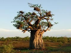 Naledi Baobab (Makgobokgobo) Tags: africa tree botswana tuli baobab naledi adansonia tfca northerntuligamereserve limpoposhashetransfrontierconservationarea notugre adansoniadigitata transfrontierconservationarea