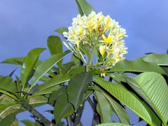 jepun bali flower, image1