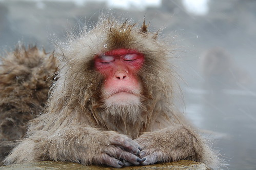 monkey meditating in hot spring