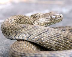 P1160347 A f (Lanko48) Tags: reptile snake serpente rettile natrix biscia natrixtessellata bisciadacqua natrixtess