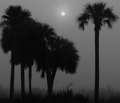 hazy, hot, and humid (joiseyshowaa) Tags: gainesville florida fla fl payne paynes prarie palm palmtree dawn morning mist fog alachua alachuacounty county swamp thechallengefactory land scape landscape joiseyshowaa joiseyshowa twilight bigmomma black white blackwhite bw wetlands