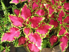 An unknown cultivar of Solenostemon scutellarioides (Coleus) in our garden