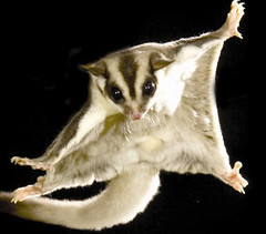 Sugar Glider Squirrels-Popular exotic pet in North America. These are nocturnal creatures, sensitive to light, are able to glide through the air