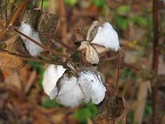 100% Cotton