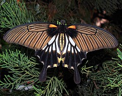 Butterfly (Mangiwau) Tags: nature monster butterfly indonesia java jakarta freak huge gigantic wingspan indonesian colossal breathtaking striped abnormal unnatural tangerang banten anawesomeshot aplusphoto wowiekazowie coolestphotographers natureselegantshots