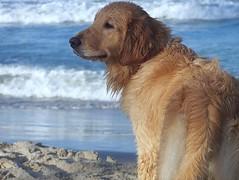 Mirada extraviada (jmven) Tags: sea dog beach look golden eyes dof sad kodak retriever perro ojos thinking mirada pensando z612
