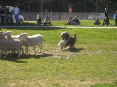 sheepherding_beardedcollie
