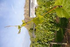 IMGP2634 (Jamie Goode) Tags: newzealand wine hawkesbay