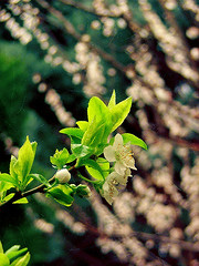 I cannot see so clear (itsila) Tags: flowers nature cherry cherrytree plumtree