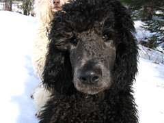 How can u not love him ?? (Foxxy & Baldr) Tags: snow puppy cords nh londonderry standardpoodle baldr 19weeksold foxxycleopatra