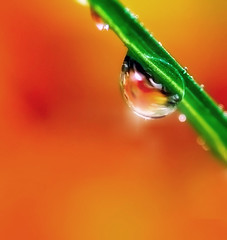 one is the loneliest number (Lani Barbitta) Tags: orange macro wet water spring drop dew droplet lani 60mm28 abigfave nikond80 anawesomeshot colorphotoaward lanibarbitta barbitta