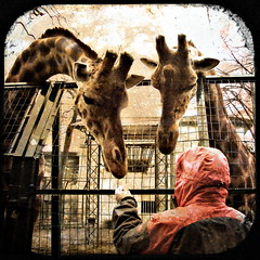 pictures from zoo di Pistoia - giraffes