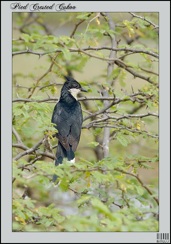 Pied Crested Cuckoo