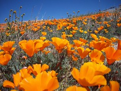 Field of California Poppies (Megan Meets World) Tags: california flowers orange field golden poppy