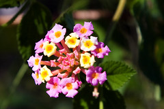 Weed (obLiterated) Tags: pink red flower yellow australia queensland lantana somersetdam