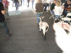 DSCF0732 (belsonc) Tags: goat mitchell beloved goatfest