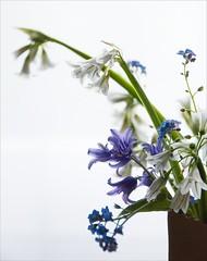 rescued (lesbru) Tags: forgetmenot bluebell whitebell alliumtriquetrum threecorneredgarlic d40x threecorneredleek stinkingonion bagvase