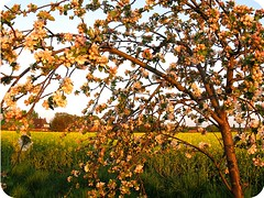 apple blossom1