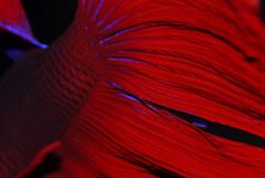 DE.2008-04-17.00046.JPG (DigitalTribes) Tags: red fish macro water aquarium tank under fisch fighting fin betta 2008 dt bettasplendens siamesefightingfish digitaltribes markoneil