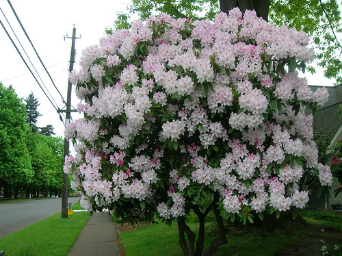 monster rhodie