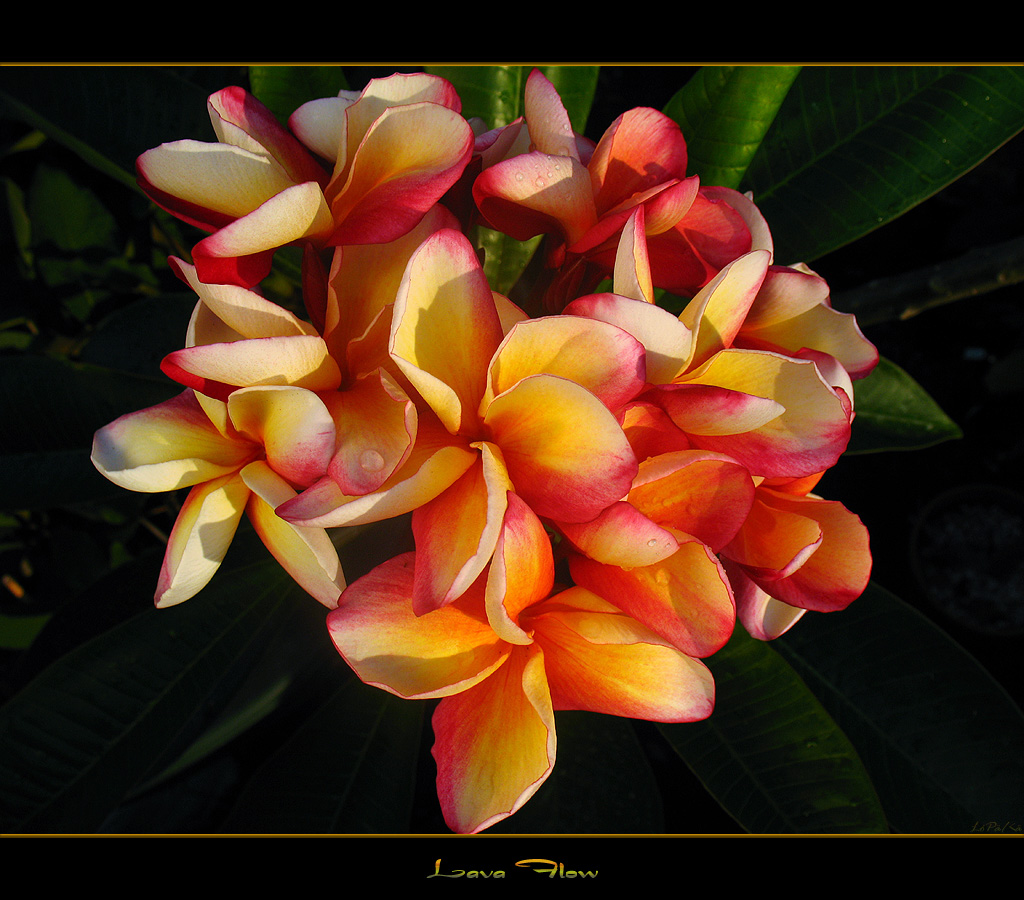 Hawaiian Flowers The