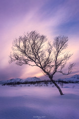 Angled in the arctic (Ron Jansen - EyeSeeLight Photography) Tags: vesterålen nordland norway winter light glow purple pink snow ice cold windy birch tree angle arctic angled shape møkland