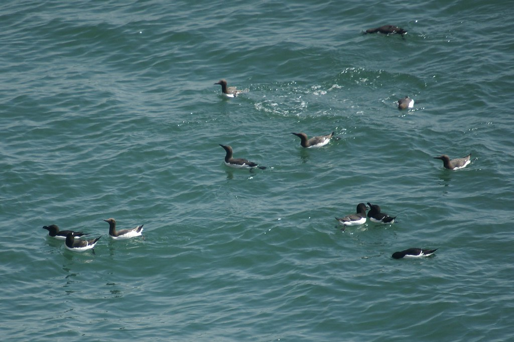 These Are Guillemots and Razorbills, They Are Not Bloody Puffins