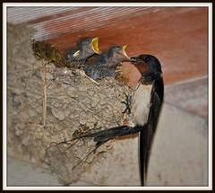 On a faim! (Marcelline21) Tags: bird nature animal swallow hirondelle estremità marcelline21