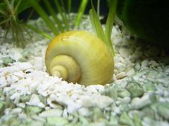 Caracol marino (DeFerrol) Tags: aquarium snail animalplanet marino acuario caracol