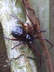 widow (ratkimo) Tags: macro nature spider wildlife arachnid falsewidow steatodanobilis buzznbugz grdenlife