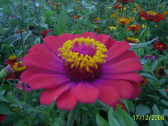 flores 01 nilceia Gazzola  sitio herminia (nilgazzola) Tags: brazil brasil de foto ou com tirada maquina echapora nilgazzola
