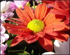 Lore gorri ta hori (iosebasque) Tags: flower macro flor ramo roja lore naturesfinest ltytr2 ltytr1