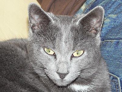 le chat gris.jpg