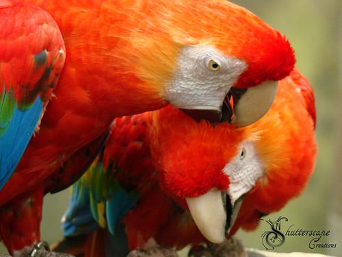 Loving Macaw