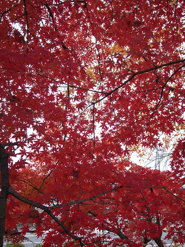 Scarlet maple