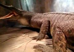 Sarcosuchus posing