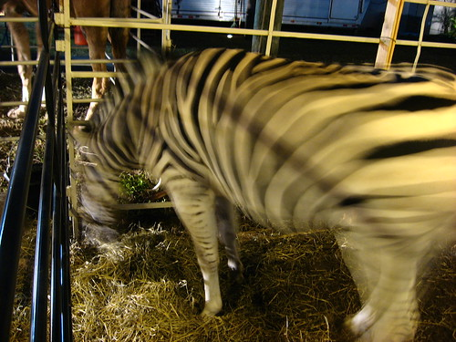 A zebra as part of the nativity scene outside a church in Tampa, Florida, USA
