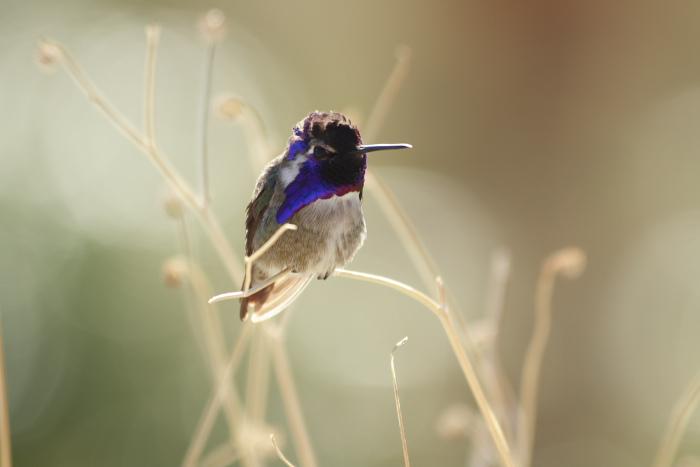 Hummingbird at Indian Canyons